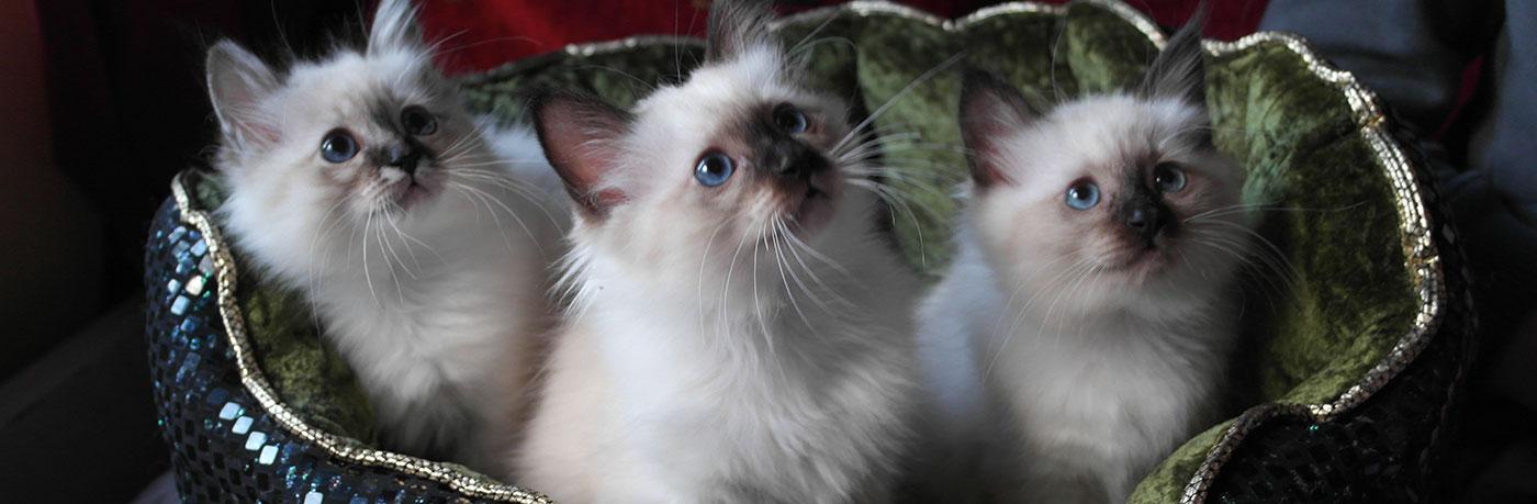 Zildan kissalasta suloiset Pyhän Birmat.