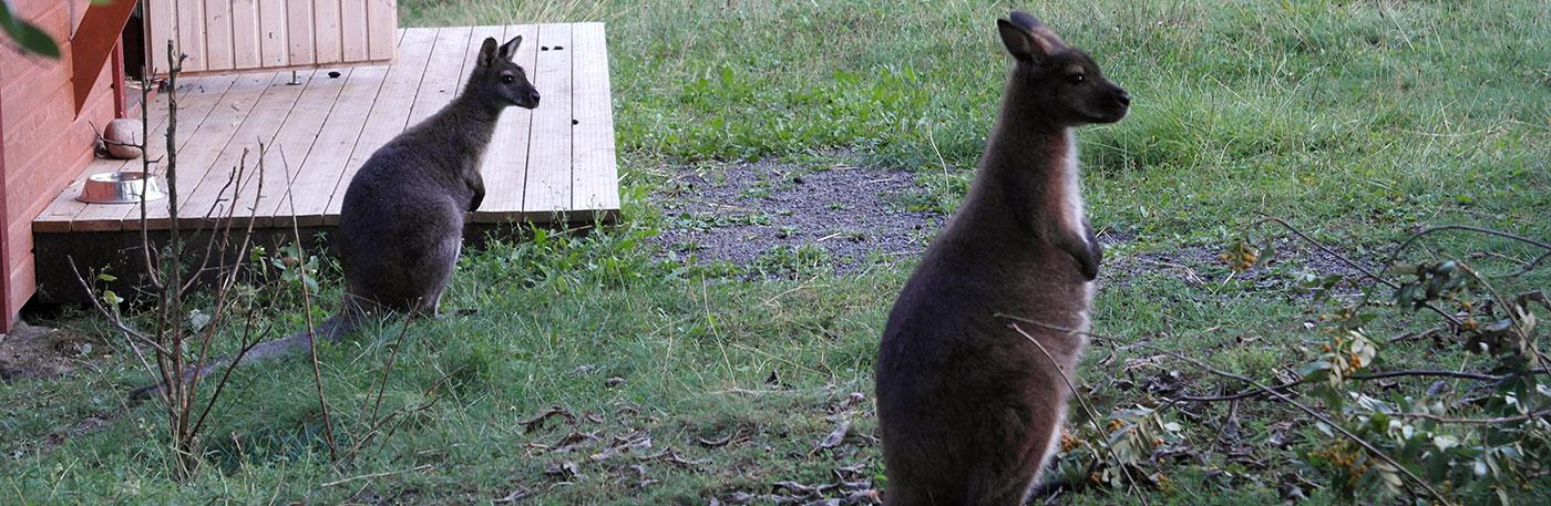 Eläinpihan vilskeestä löydät eksoottiset kengurut.